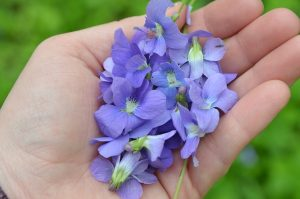 Wild violets are one of the most glorious finds while springtime foraging. They're abundant and have so many uses, from eating raw to adding to creams and lotions!