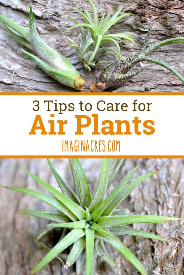 Having trouble keeping air plants alive? I was too. Believe me, all you need is a few simple tips to finally find success. Follow these 3 tips and keep your air plants alive and healthy.