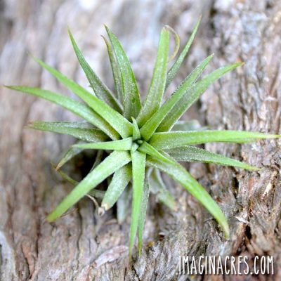 air plant against a wood background