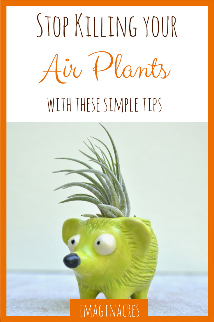 Having trouble keeping air plants alive? I was too. Believe me, all you need is a few simple tips to finally find success.