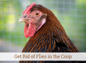 How to Get Rid of Flies in the Chicken Coop