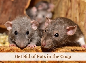 Get Rid of Rats in the Chicken Coop