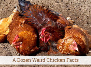 A Dozen Weird Chicken Facts
