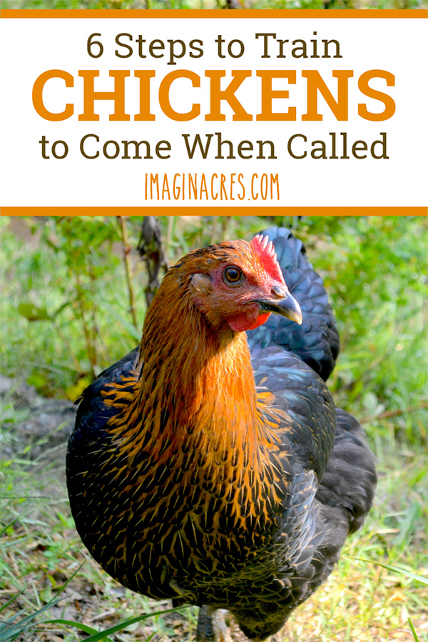 Before you let your chickens free range, it is a good idea to have a strategy to get them back into their pen. Here's how to teach your chickens to come when called.