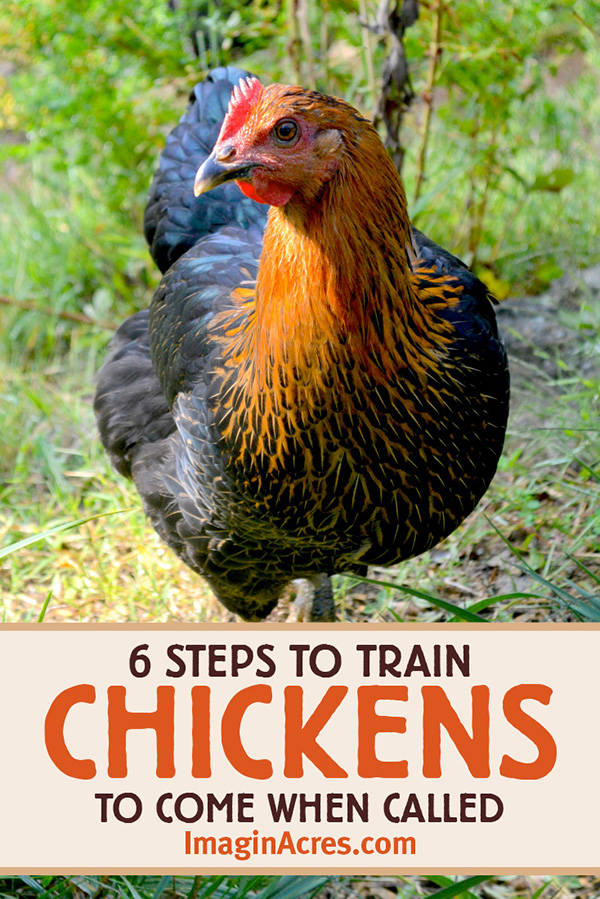 Before you let your backyard chickens free range, it is a good idea to have a strategy to get them back into their pen. Here's how to teach your chickens to come when called.