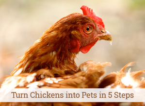 Turn your chickens into pets in 5 easy steps