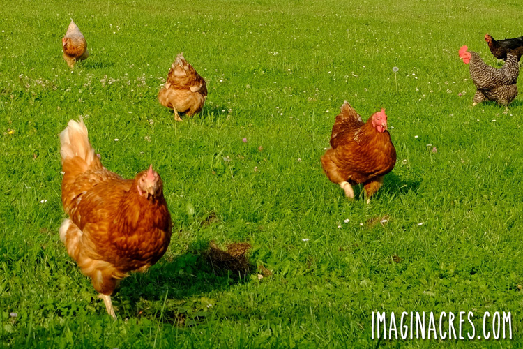 flock of mixed breed chickens free ranging on green grass
