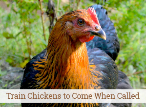 6 Steps to Train Chickens to Come When Called