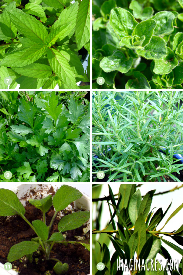 collage photo of herbs