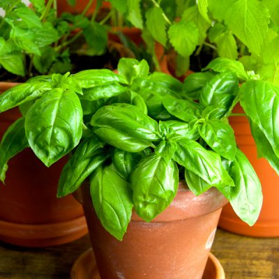 14 Culinary Herbs for Your Indoor Herb Garden