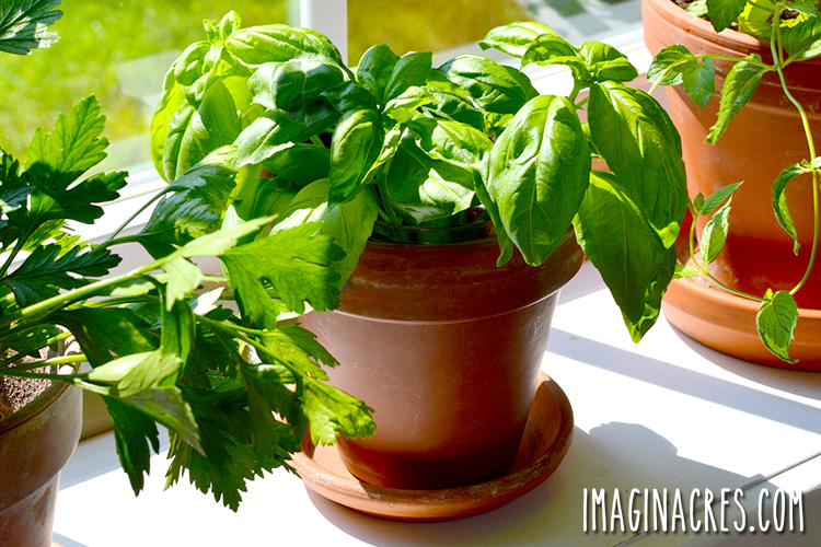 Grow herbs indoors during the winter months when the garden is covered with snow.