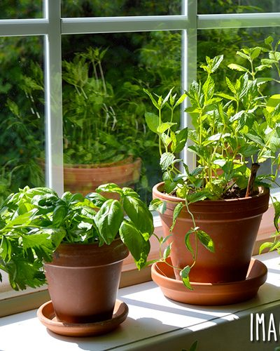 Most herbs are easier to care for than houseplants, and they provide fresh foliage to flavor meals. Learn how to grow an indoor windowsill herb garden and enjoy herbs whenever you need them.