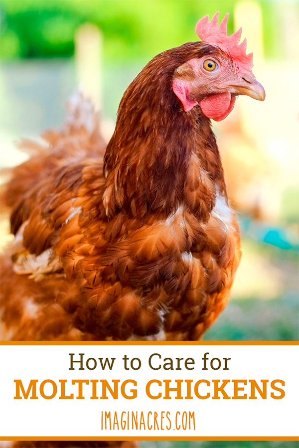 Molting is a natural process birds go through where they lose their old feathers and grow in new ones. It can be stressful on your hens. Here are ways to help your chickens through the molting process.