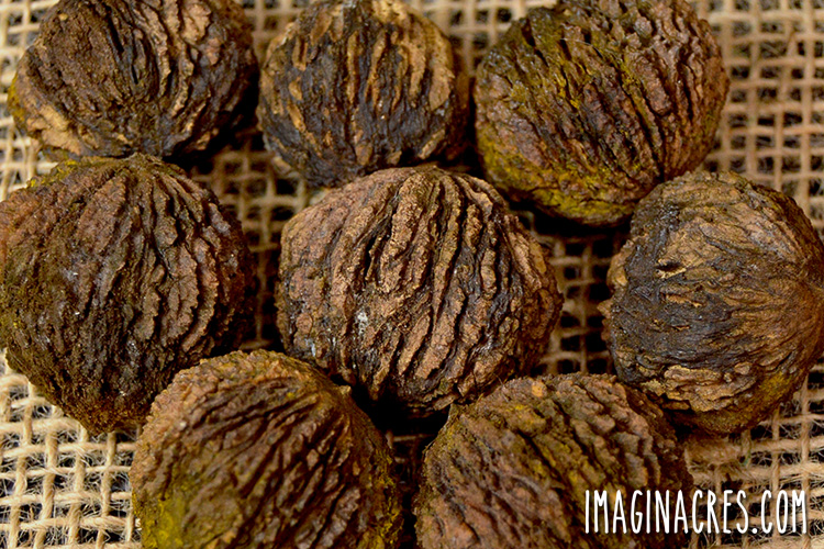 closeup of black walnuts