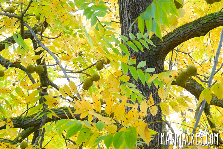 black walnut tree in fall with yellow leaves