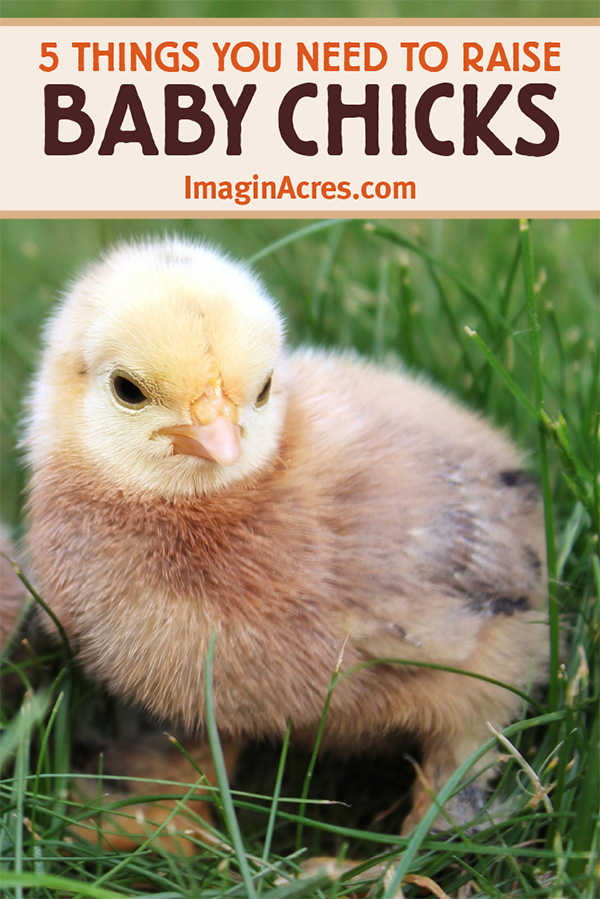 Baby chicks are so small, so cute, so soft, and so fun to watch! Visit for tips to help you get prepared before you give in to their cuteness and bring a dozen home. Read on for guidelines to prepare for the baby chicks' arrival.