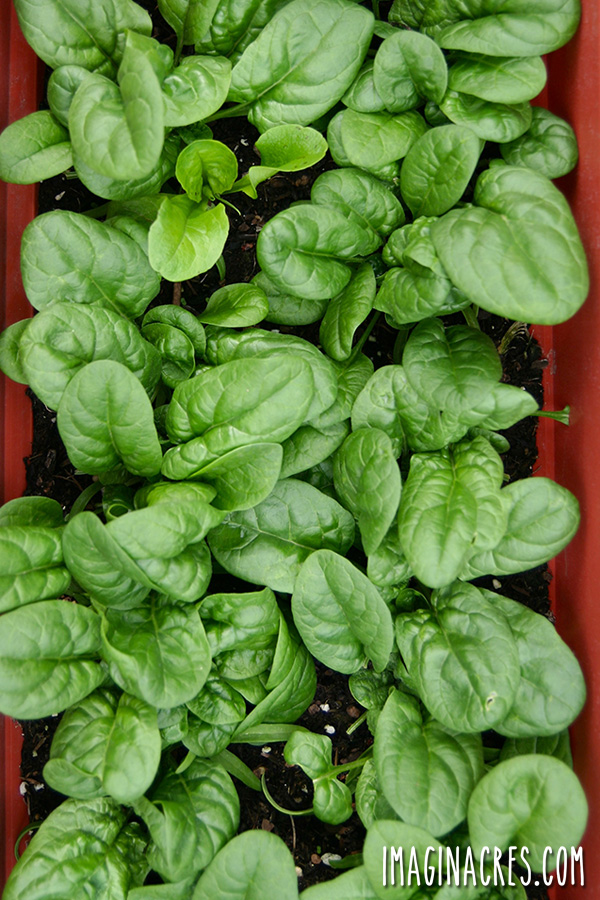 Spinach is a cool season crop that adapts well to indoor growing conditions, including cooler winters, and air-conditioned summers. Given its compact size, and love of cooler temperatures, spinach is a great choice for indoor gardening.