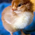 Whether you mail order day old chicks from a hatchery, choose peeps from your local farm and feed store, or hatch eggs in an incubator, use these guidelines for raising chicks the first 6 weeks.