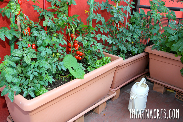 large window box with tomato plants on a patio
