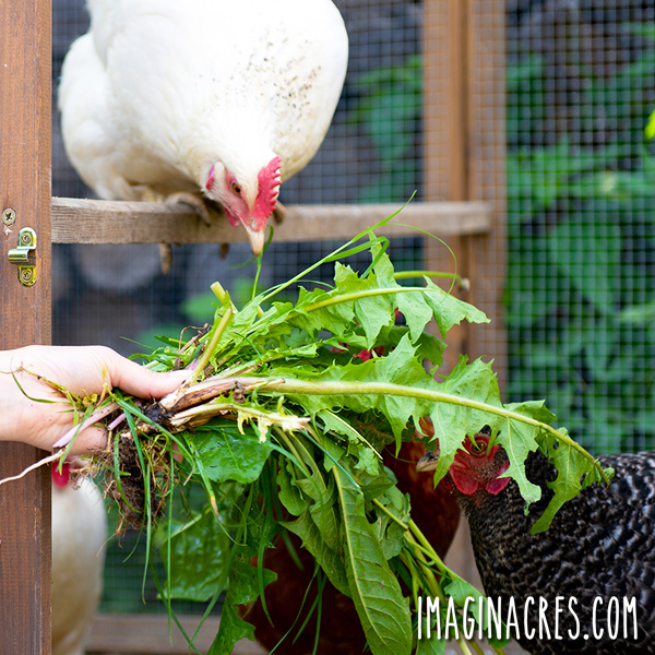 two hens eating dandelion greens